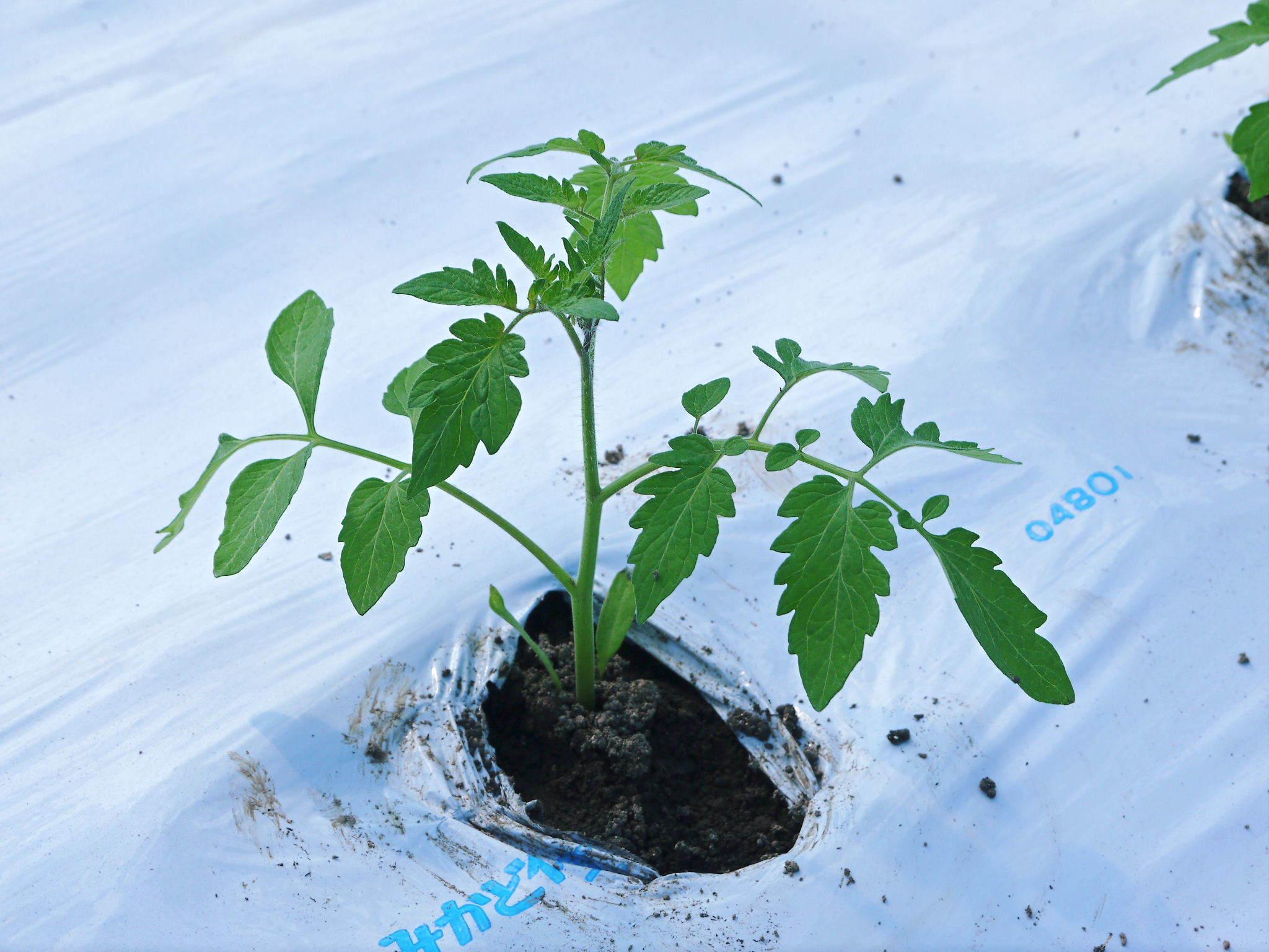 樹上完熟の朝採りトマト 元気に育成長中!そして、新品種のトマトを定植したとのこと!さっそく現地取材! _a0254656_17395653.jpg