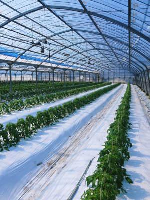 樹上完熟の朝採りトマト 元気に育成長中!そして、新品種のトマトを定植したとのこと!さっそく現地取材! _a0254656_17481656.jpg