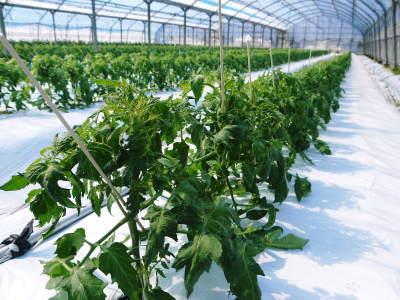 樹上完熟の朝採りトマト 元気に育成長中!そして、新品種のトマトを定植したとのこと!さっそく現地取材! _a0254656_17514585.jpg