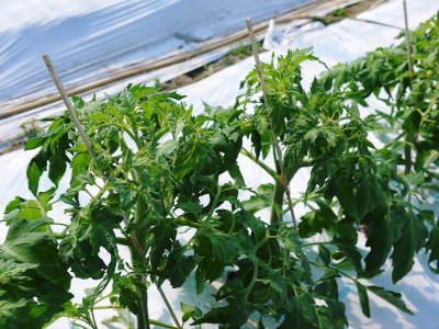 樹上完熟の朝採りトマト 元気に育成長中!そして、新品種のトマトを定植したとのこと!さっそく現地取材! _a0254656_17552319.jpg