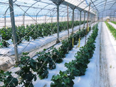 樹上完熟の朝採りトマト 元気に育成長中!そして、新品種のトマトを定植したとのこと!さっそく現地取材! _a0254656_17575013.jpg