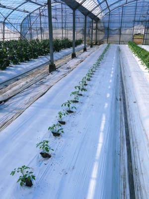 樹上完熟の朝採りトマト 元気に育成長中!そして、新品種のトマトを定植したとのこと!さっそく現地取材! _a0254656_18003252.jpg
