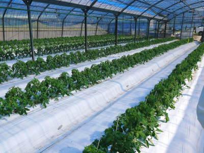 樹上完熟の朝採りトマト 元気に育成長中!そして、新品種のトマトを定植したとのこと!さっそく現地取材! _a0254656_18142950.jpg