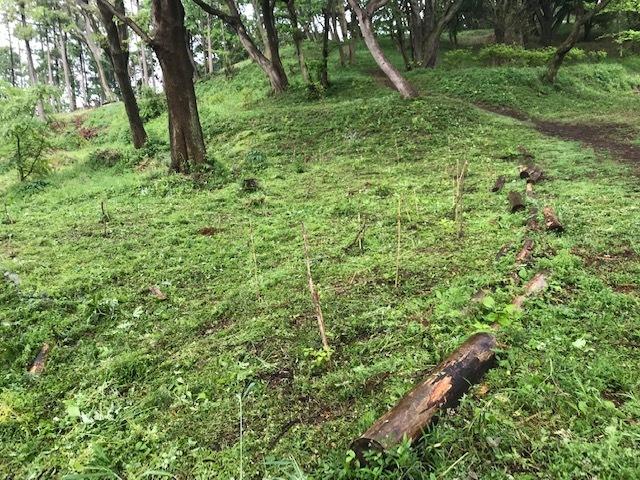 六国見山に植樹したヤマアジサイ間もなく開花5・4_c0014967_11494407.jpg