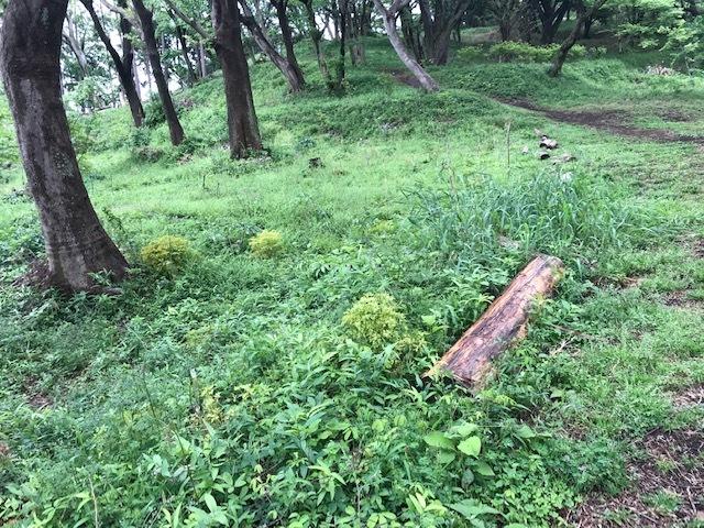 六国見山に植樹したヤマアジサイ間もなく開花5・4_c0014967_11500114.jpg