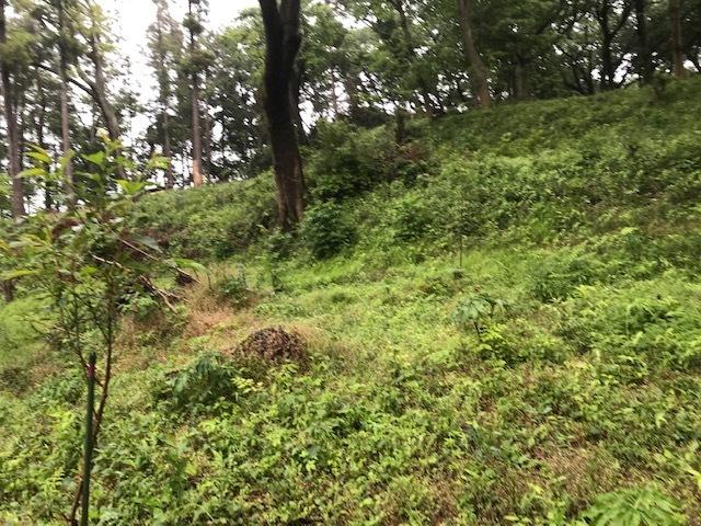 六国見山に植樹したヤマアジサイ間もなく開花5・4_c0014967_11541580.jpg