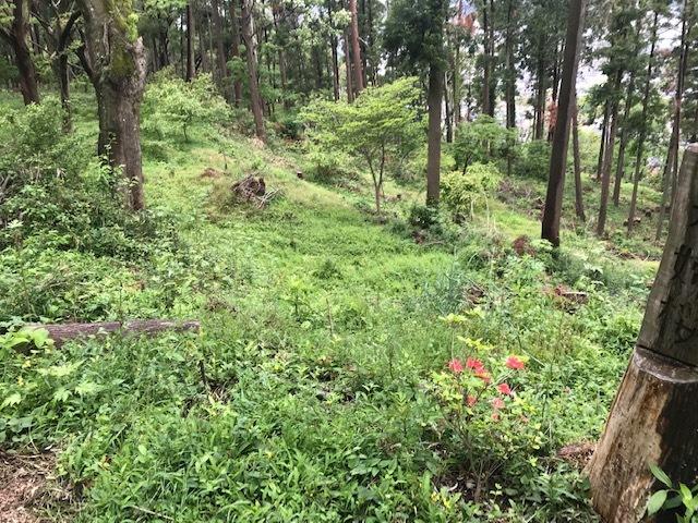 六国見山に植樹したヤマアジサイ間もなく開花5・4_c0014967_11553059.jpg