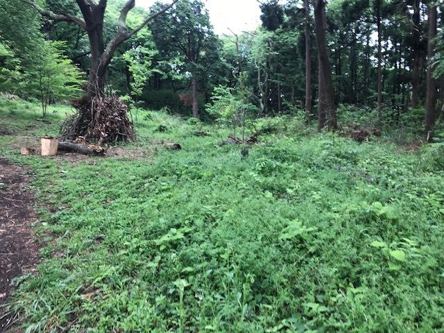 六国見山に植樹したヤマアジサイ間もなく開花5・4_c0014967_11570726.jpg