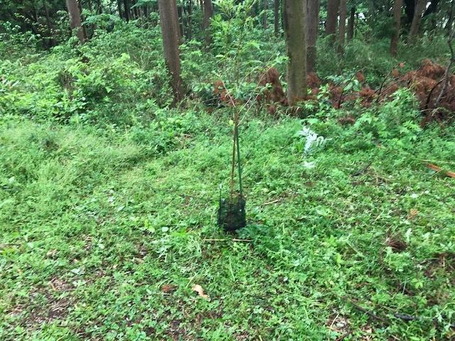 六国見山に植樹したヤマアジサイ間もなく開花5・4_c0014967_11573225.jpg