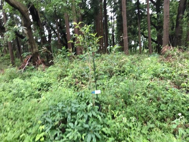 六国見山に植樹したヤマアジサイ間もなく開花5・4_c0014967_11581085.jpg