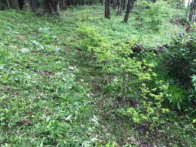 六国見山に植樹したヤマアジサイ間もなく開花5・4_c0014967_12011255.jpg
