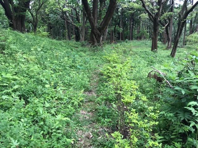 六国見山に植樹したヤマアジサイ間もなく開花5・4_c0014967_12020411.jpg