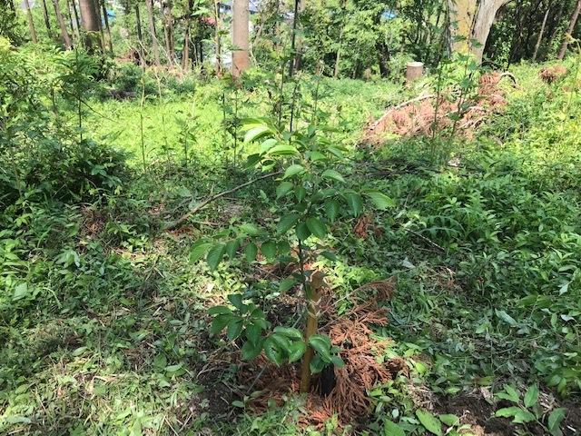 六国見山に植樹したヤマアジサイ間もなく開花5・4_c0014967_12032241.jpg