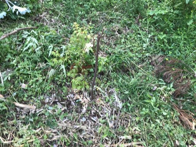 六国見山に植樹したヤマアジサイ間もなく開花5・4_c0014967_12035092.jpg