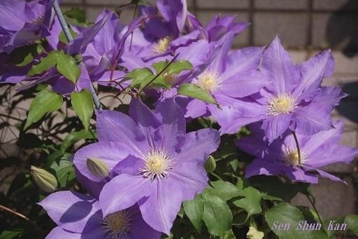 クレマチスが咲いています  2020年5月1日_a0164068_23040264.jpg