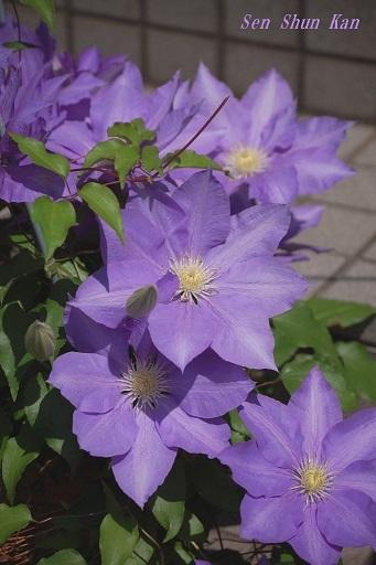 クレマチスが咲いています  2020年5月1日_a0164068_23040385.jpg