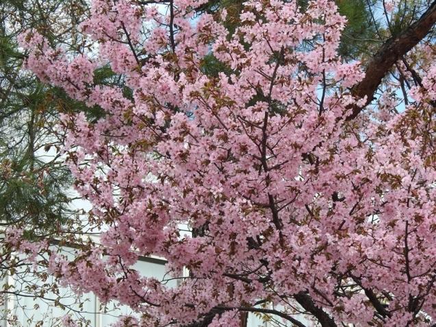 藻岩山麓の桜_d0391670_22082297.jpg