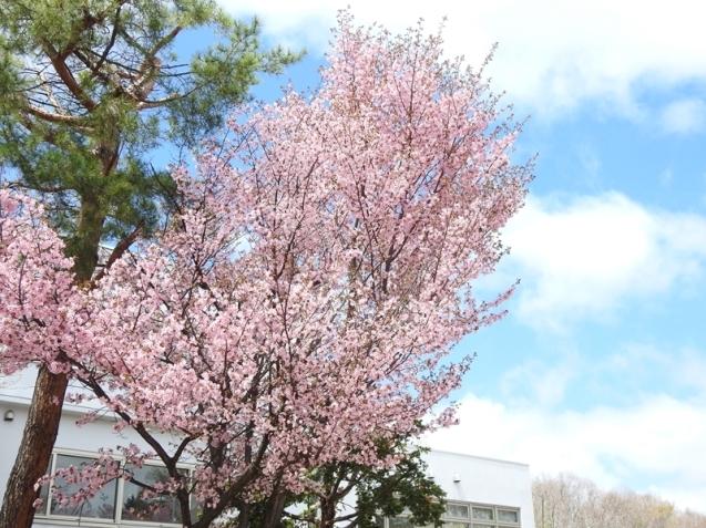 藻岩山麓の桜_d0391670_22092953.jpg