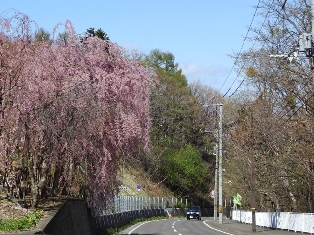 藻岩山麓の桜_d0391670_22105952.jpg