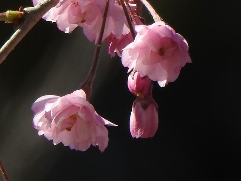 藻岩山麓の桜_d0391670_22315628.jpg