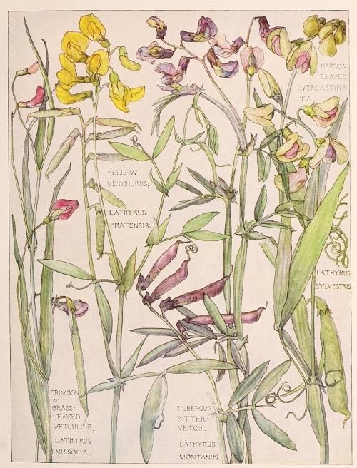 H. Isabel Adams:野の花々に癒される_c0084183_14462556.jpg