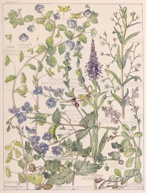 H. Isabel Adams:野の花々に癒される_c0084183_14504935.jpg