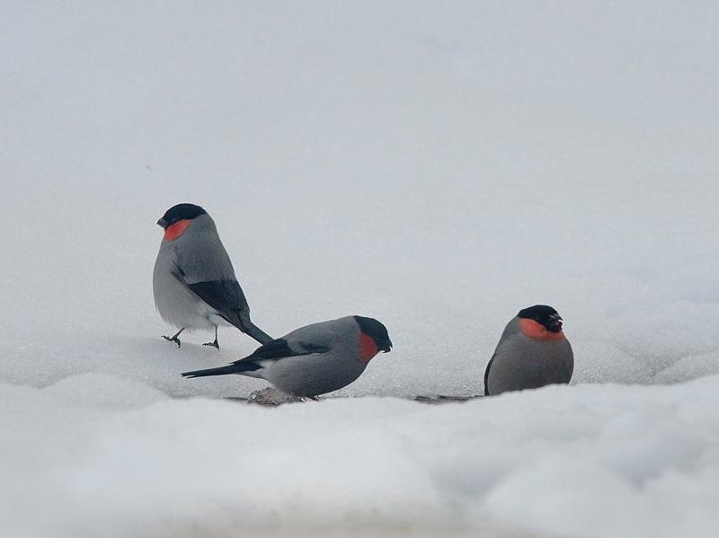 積雪とウソたち_a0204089_558155.jpg