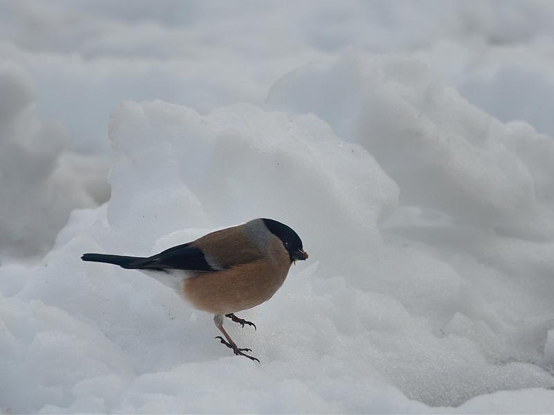 積雪とウソたち_a0204089_5585288.jpg