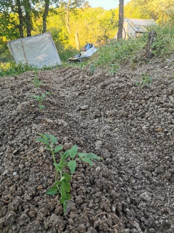 トマトを植えました_f0106597_04564288.jpg