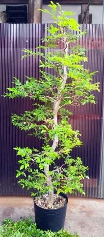 お家で楽しむジャボチカバ栽培_b0028299_20300868.jpg