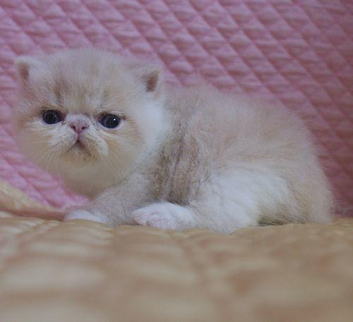 エキゾチックショートヘア子猫 クリーム's5匹兄弟  2020\'04/09 家族募集_e0033609_13244037.jpg