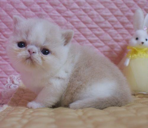 エキゾチックショートヘア子猫 クリーム's5匹兄弟  2020\'04/09 家族募集_e0033609_13251686.jpg