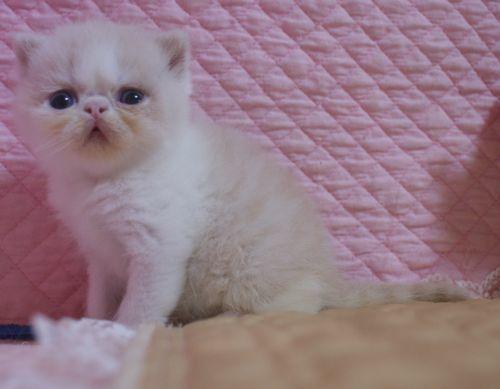 エキゾチックショートヘア子猫 クリーム's5匹兄弟  2020\'04/09 家族募集_e0033609_13260797.jpg