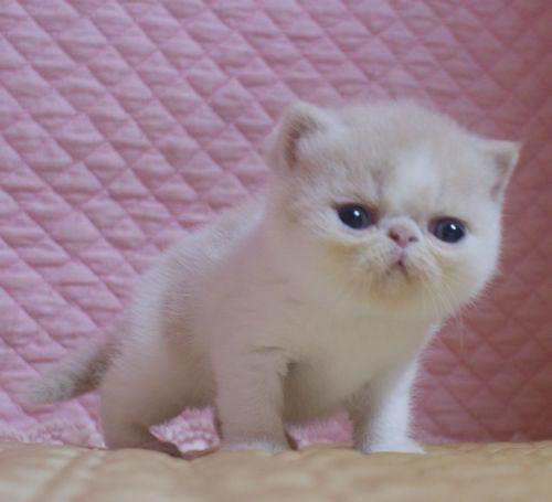 エキゾチックショートヘア子猫 クリーム's5匹兄弟  2020\'04/09 家族募集_e0033609_13264150.jpg