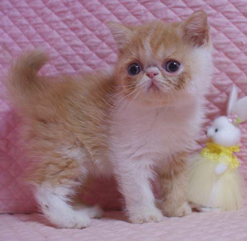 エキゾチックショートヘア子猫  レッド  2020\'3/14家族募集_e0033609_13443861.jpg