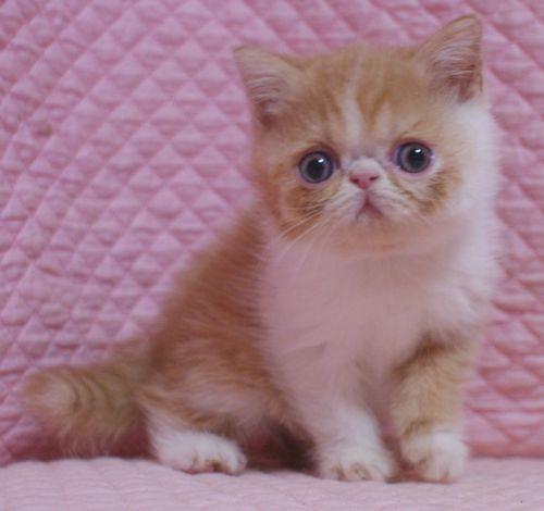 エキゾチックショートヘア子猫  レッド  2020\'3/14家族募集_e0033609_13445127.jpg