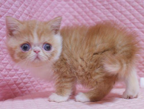エキゾチックショートヘア子猫  レッド  2020\'3/14家族募集_e0033609_13450213.jpg