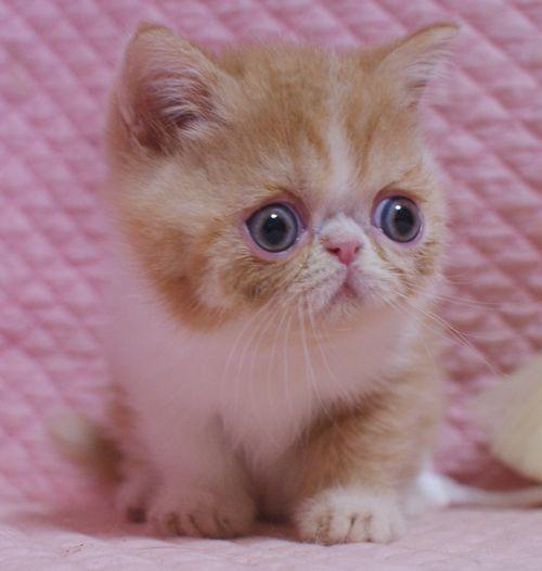エキゾチックショートヘア子猫  レッド  2020\'3/14家族募集_e0033609_13451351.jpg