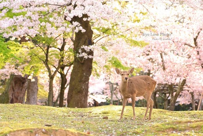 鹿活~桜Ver.2020~_f0353524_21375260.jpg