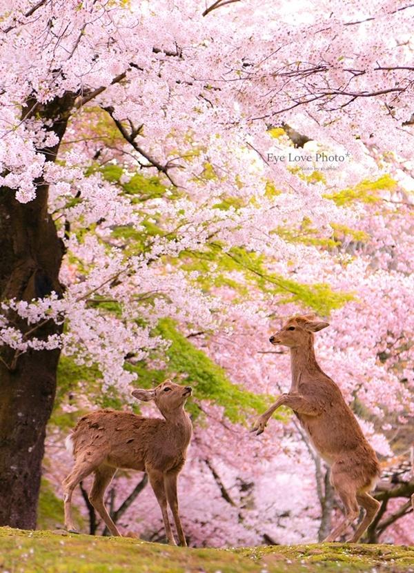 鹿活~桜Ver.2020~_f0353524_21421091.jpg