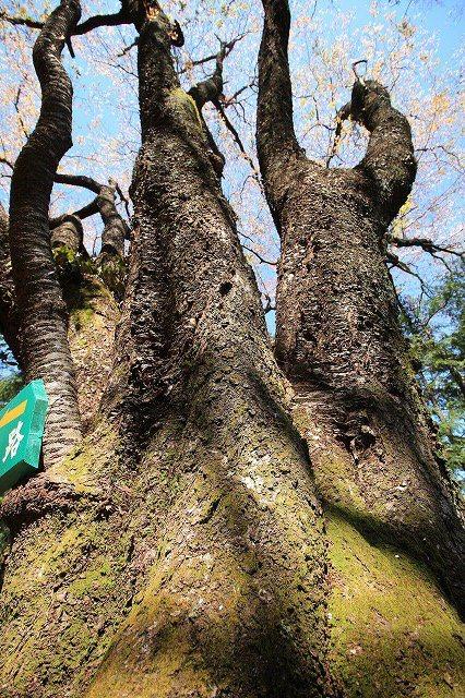 城跡に巨木の山桜(撮影:4月5日)_e0321325_16390554.jpg