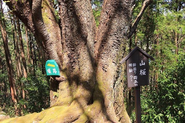 城跡に巨木の山桜(撮影:4月5日)_e0321325_16401492.jpg