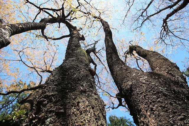 城跡に巨木の山桜(撮影:4月5日)_e0321325_16402978.jpg
