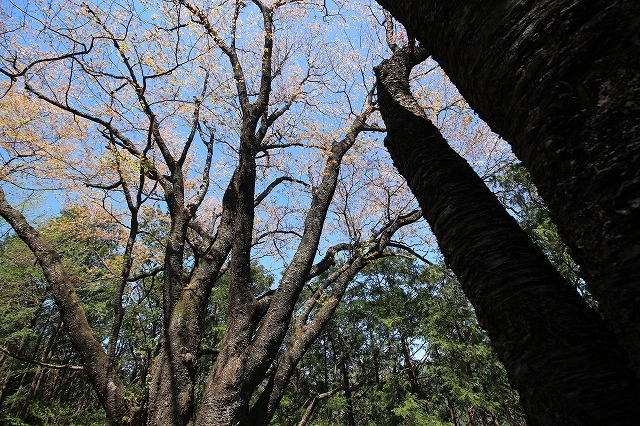 城跡に巨木の山桜(撮影:4月5日)_e0321325_16404303.jpg