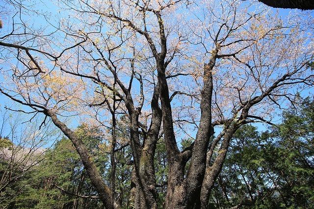 城跡に巨木の山桜(撮影:4月5日)_e0321325_16405534.jpg