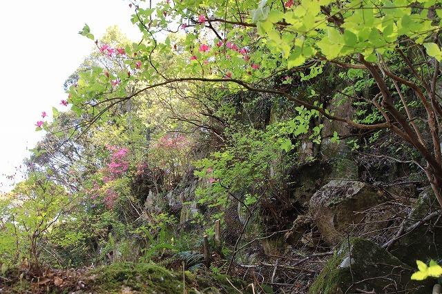 城跡に巨木の山桜(撮影:4月5日)_e0321325_16424561.jpg