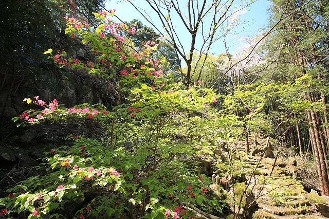 城跡に巨木の山桜(撮影:4月5日)_e0321325_16425738.jpg