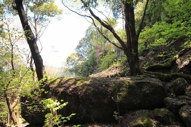城跡に巨木の山桜(撮影:4月5日)_e0321325_16431731.jpg