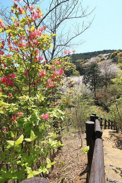 城跡に巨木の山桜(撮影:4月5日)_e0321325_16455321.jpg
