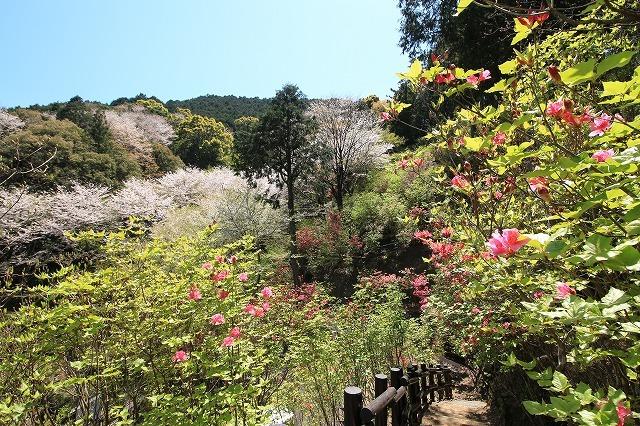 城跡に巨木の山桜(撮影:4月5日)_e0321325_16460859.jpg